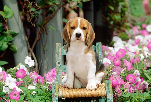 Pink Wallpaper With Cute Puppy Golden Retriever Beagle Puppy Animal Stock Photos Kimballstock