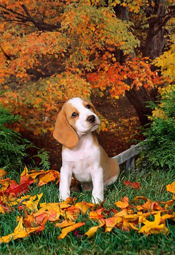 King Of The Fall Wallpaper Beagle Puppy Animal Stock Photos Kimballstock
