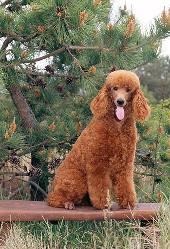 01 kimball stock standard poodle puppy sitting on bench in forest