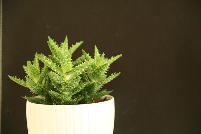 houseplants-aloe-vera