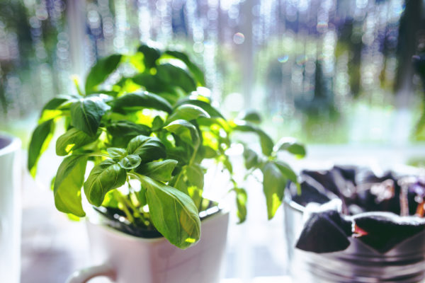 kitchen-herb-garden-basil