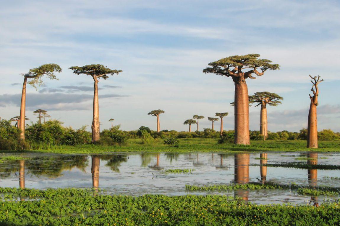 baobab tree Kimberly Elise