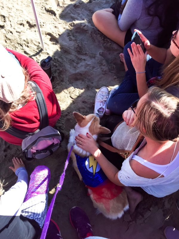 Miss London the Corgi relaxing with strangers