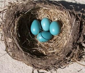 Photo of robin's nest
