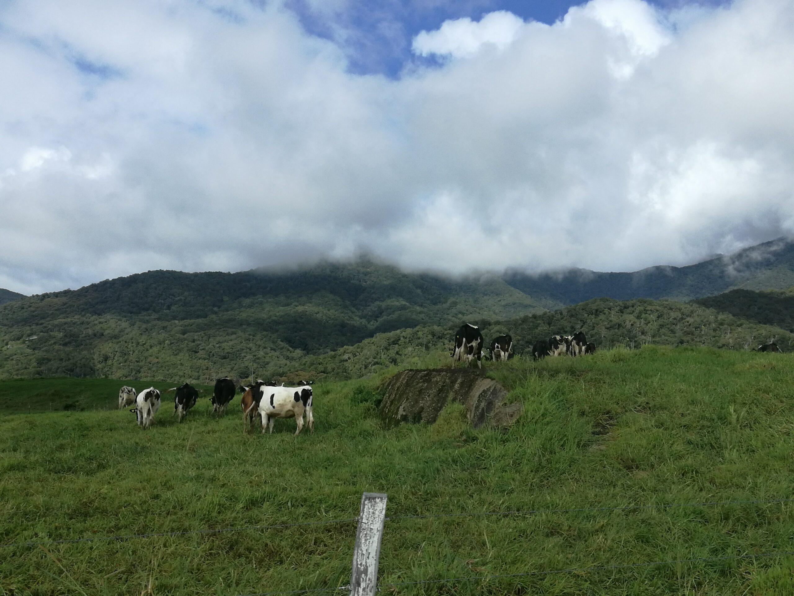 Moo Moo green pasture