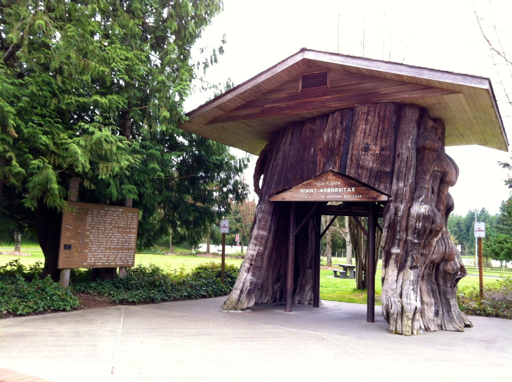 Photo of huge western red cedar