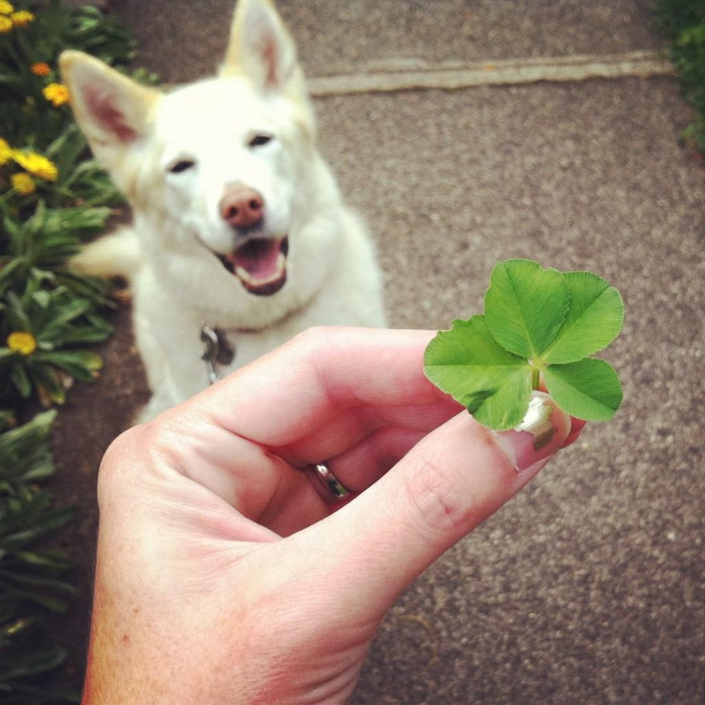 dog and 4-leaf clover