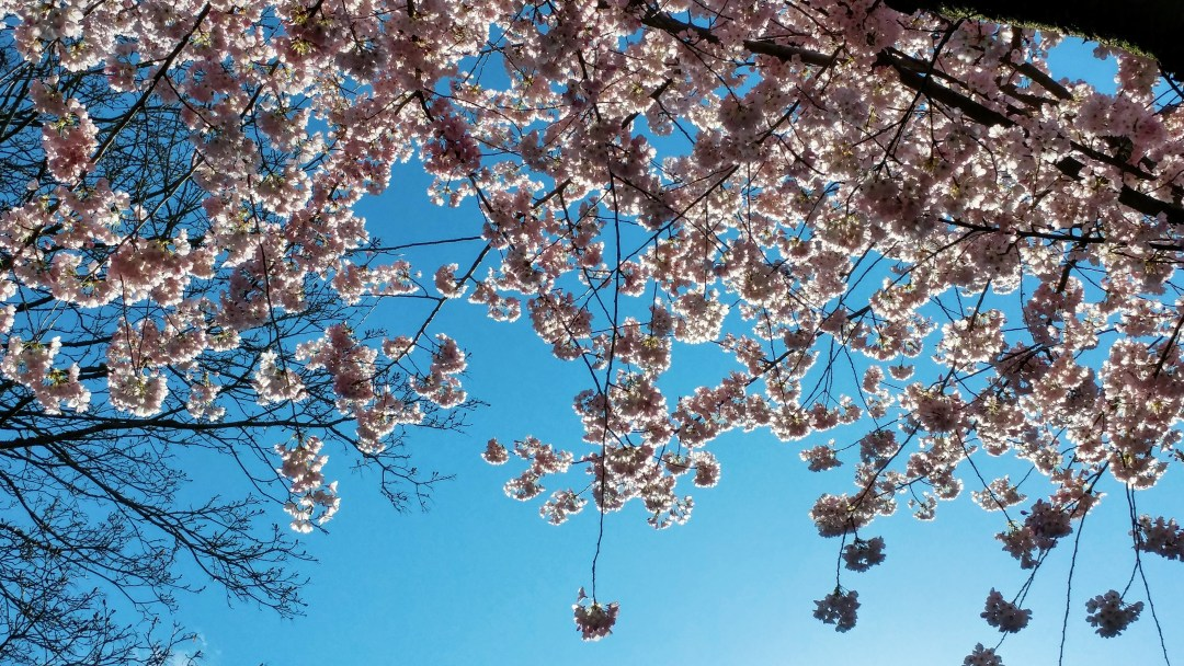 cherry blossoms in spring, Vancouver BC