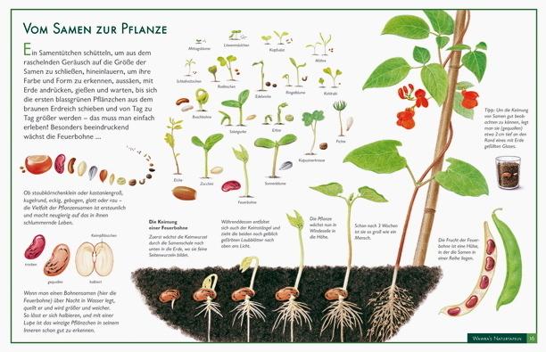 Vom Samen zur Pflanze  Lernposter im Kinderpostershop kaufen