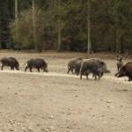 Wildschweine Erlebniswald Trappenkamp