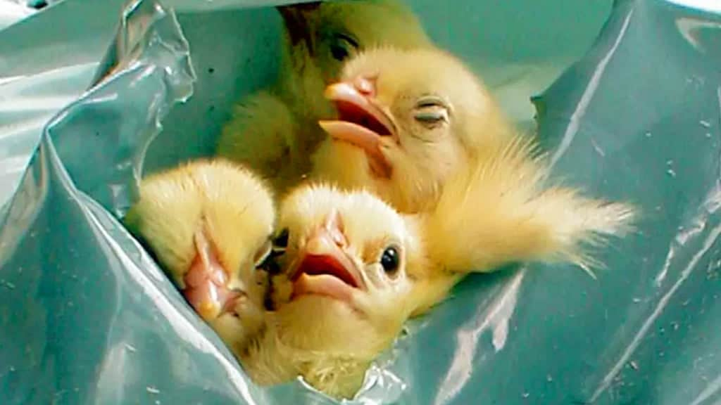 male chicks slowly suffocate