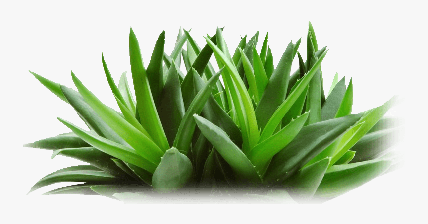 Aloe Vera Plant And Snake Plant, HD Png Download - kindpng
