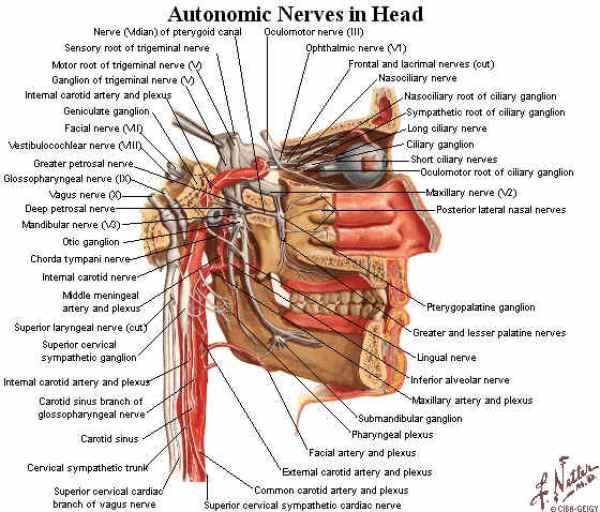 sistema autonomo craniale