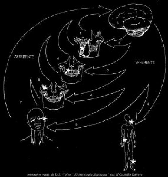 schema occlusale