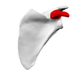Coracoid_process_of_left_scapula02