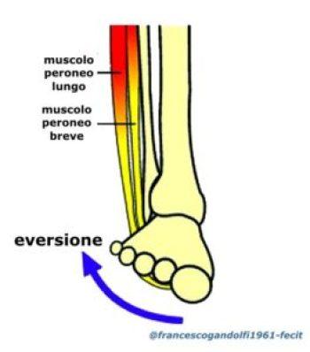 movimento di eversione con muscoli agonisti coinvolti