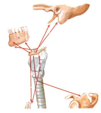 mandibola ioide