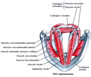I due muscoli sono antagonisti, in quanto il primo sposta posteriormente ed interiormente l'apofisi muscolare e, contemporaneamente, in avanti e all'esterno l'apofisi vocale della cartilagine aritenoidea, ruotandola sul proprio asse, per cui le corde vocali, inserite su queste ultime, vengono rilasciate e distanziate l'una dall'altra. La contrazione del secondo, invece, inverte i movimenti delle due apofisi e determina quindi l'avvicinamento delle due corde vocali: i due muscoli assolvono a un compito essenziale nella fonazione, coadiuvati nella loro funzione dai muscoli dilatatori o muscoli costrittori della laringe.