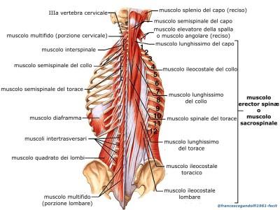 i muscoli della doccia spinale, che si estendono dalle pelvi alla testa, suddivisi in fasci, sono responsabili per mantenimento della postura eretta e del movimento della colonna vertebrale