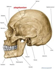 stephanion. lato del cranio dove la linea temporale superiore, o bordo superiore della fossa temporale, attraversa la sutura coronale