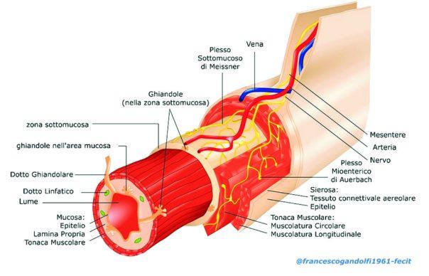 struttura della parete intestinale