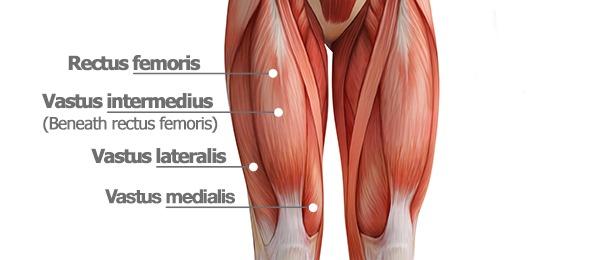 Quad muscles diagram