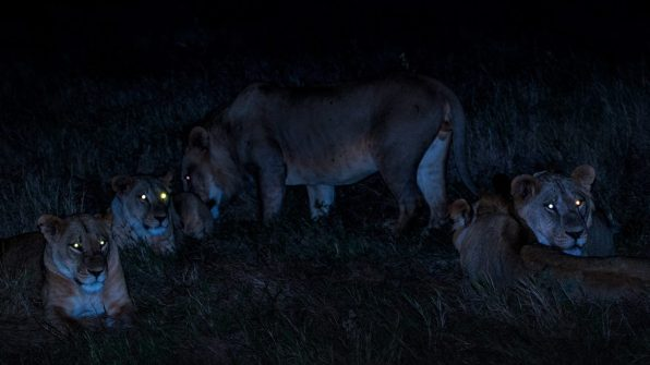 Group of Lions - Safari Kenya Safari 6gg Masai Mara Nairobi Lake Nakuru