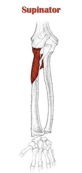 The Definitive Guide to Supinator Anatomy, Exercises & Rehab