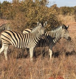 Reserve – Zebras – July