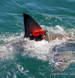 CATS-Cam attached to a great white shark fin