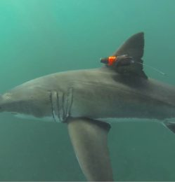 Great white shark carrying a CATS-Cam