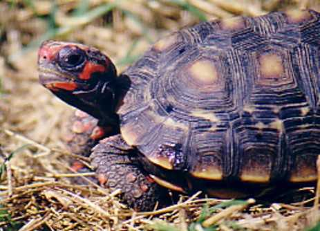 the red footed tortoise