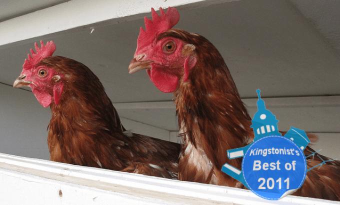 backyard chickens, chicken coop, Kingston, Ontario