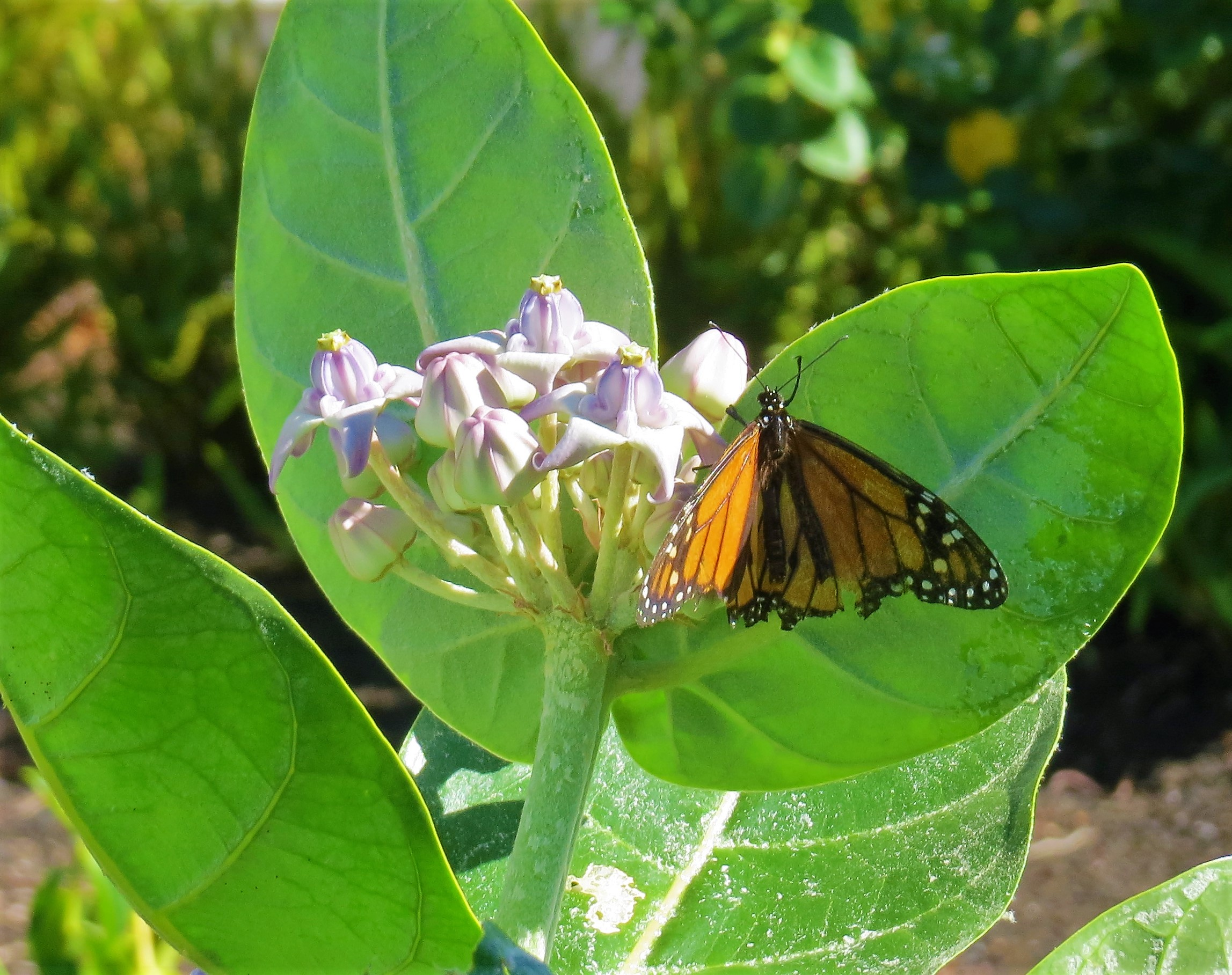 The Countryside View – Monarchs in paradise
