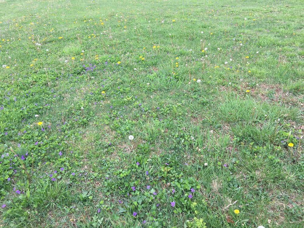 9 Common Lawn Weeds In Northern Virginia Identification