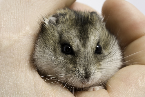 Cute Little Gray Cat For Wallpaper Little Gray Dwarf Hamster Is Angry Kira S Page