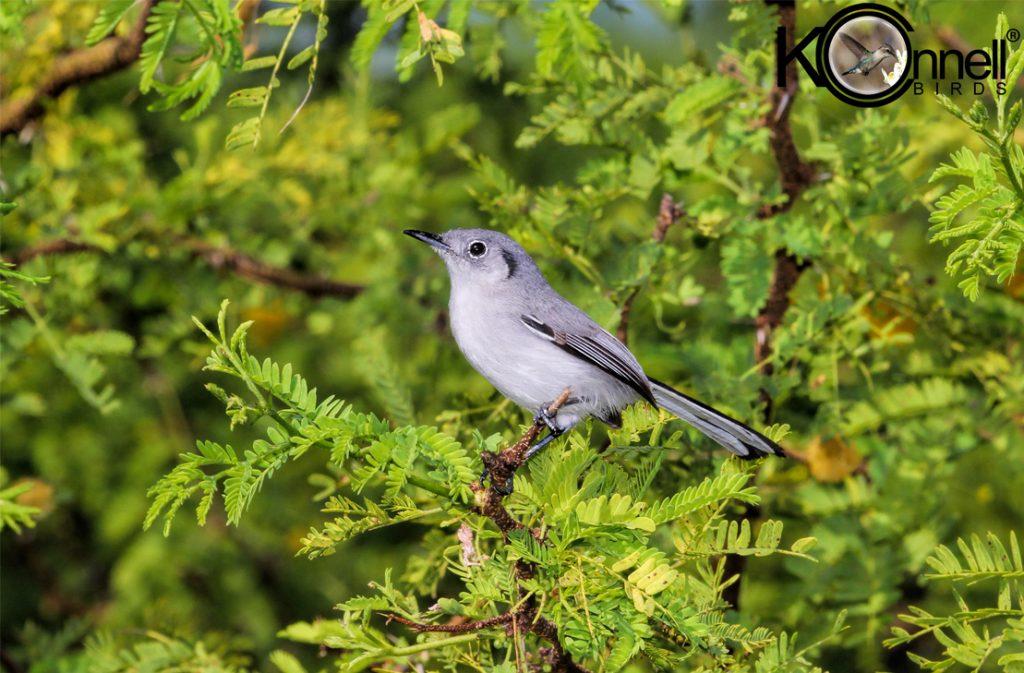 Cuban Gnatcatcher - Birding in Cuba