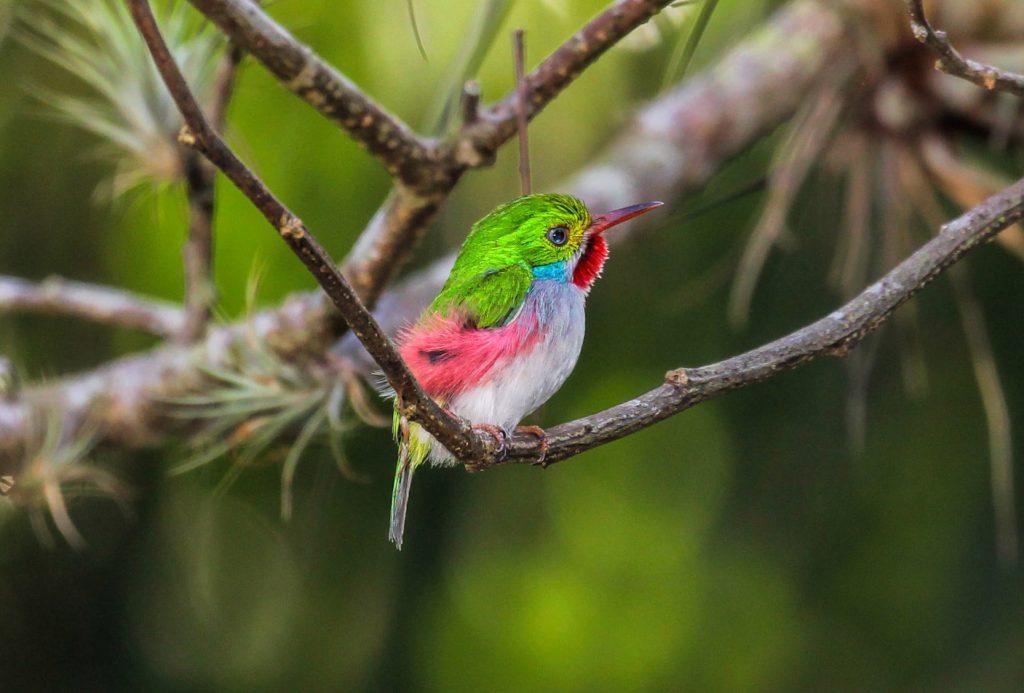 Cuban-Tody - Birding in Cuba