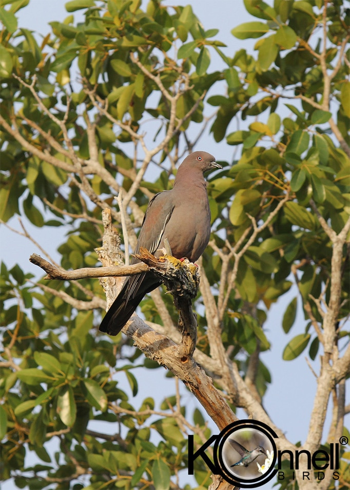 Plain Pigeon - Birding in Cuba