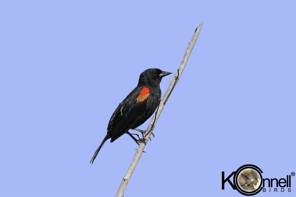 Red-shouldered-Blackbird-Male - Birding in Cuba