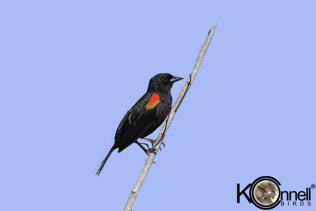 Red-shouldered-Blackbird-Male - Birding in Cuba