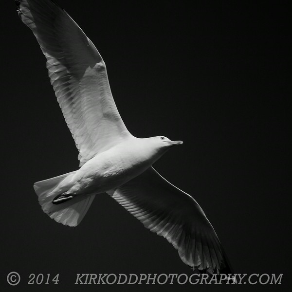 Seagull in Blue Sky but Black and White