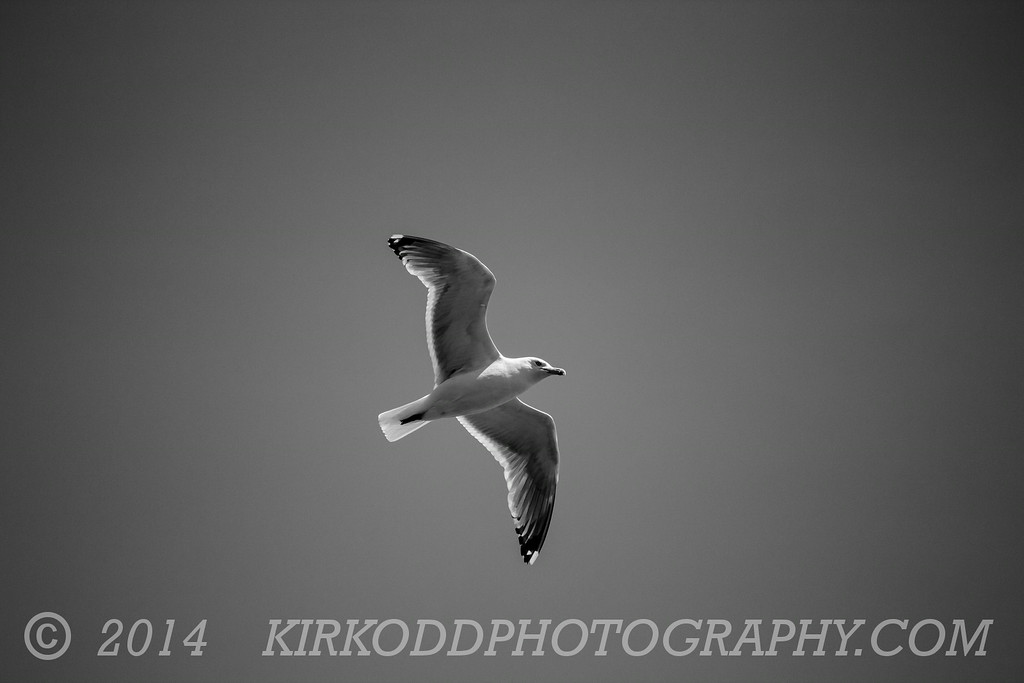 Simple Black and White Seagull