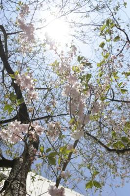 Kirschblüte Maxstraße