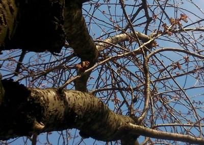 kirschblütenliveticker