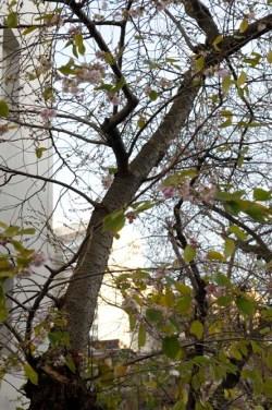 Kirschblueten-im-November