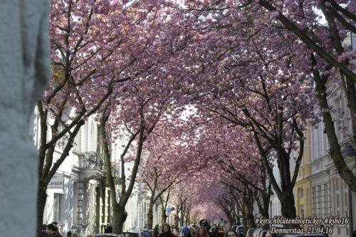 Kirschblütenliveticker-Donnerstag-21.4.16