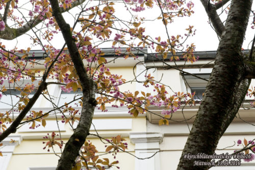 Kirschblütenliveticker-Mittwoch-13.4.16