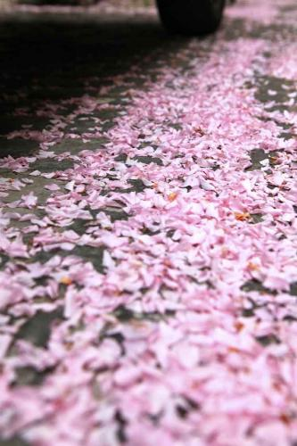 2014-wett-S.Liu-Xianghui-Liu-Kirschblüte-1v3