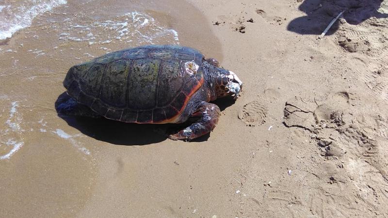 Dead sea turtle found in Kissamos